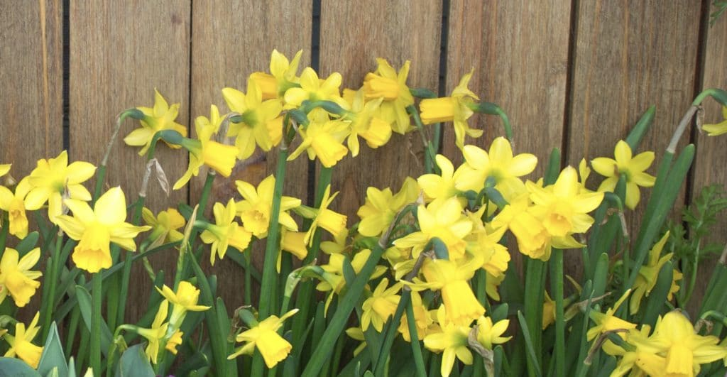 Daffodils grow from beautiful bulbs that should be planted in the Fall!