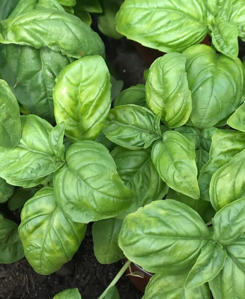 Basil is a super-easy herb to grow in your garden!