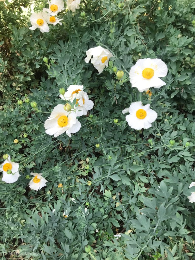 Poppy flowers are annuals that bloom all Summer!