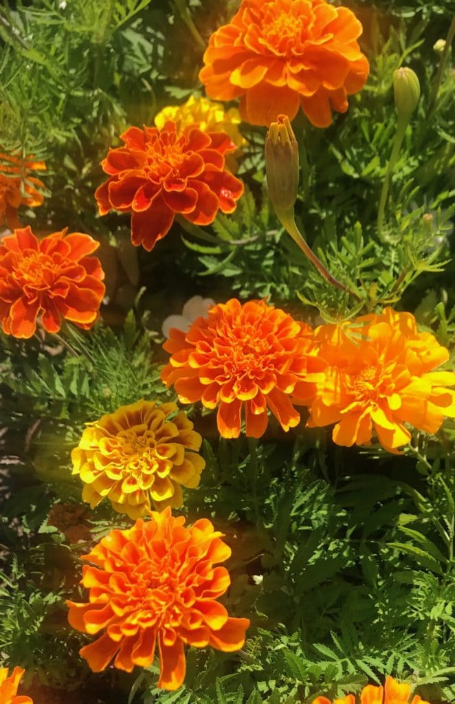 Marigolds make beautiful annuals that can bloom ALL Summer!