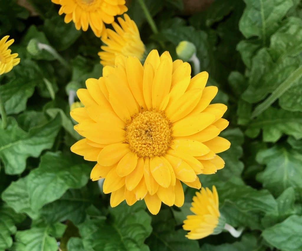 Daises - full sun perennials