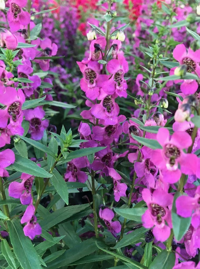 Angelonia flowers are beautiful annuals that can bloom all Summer!