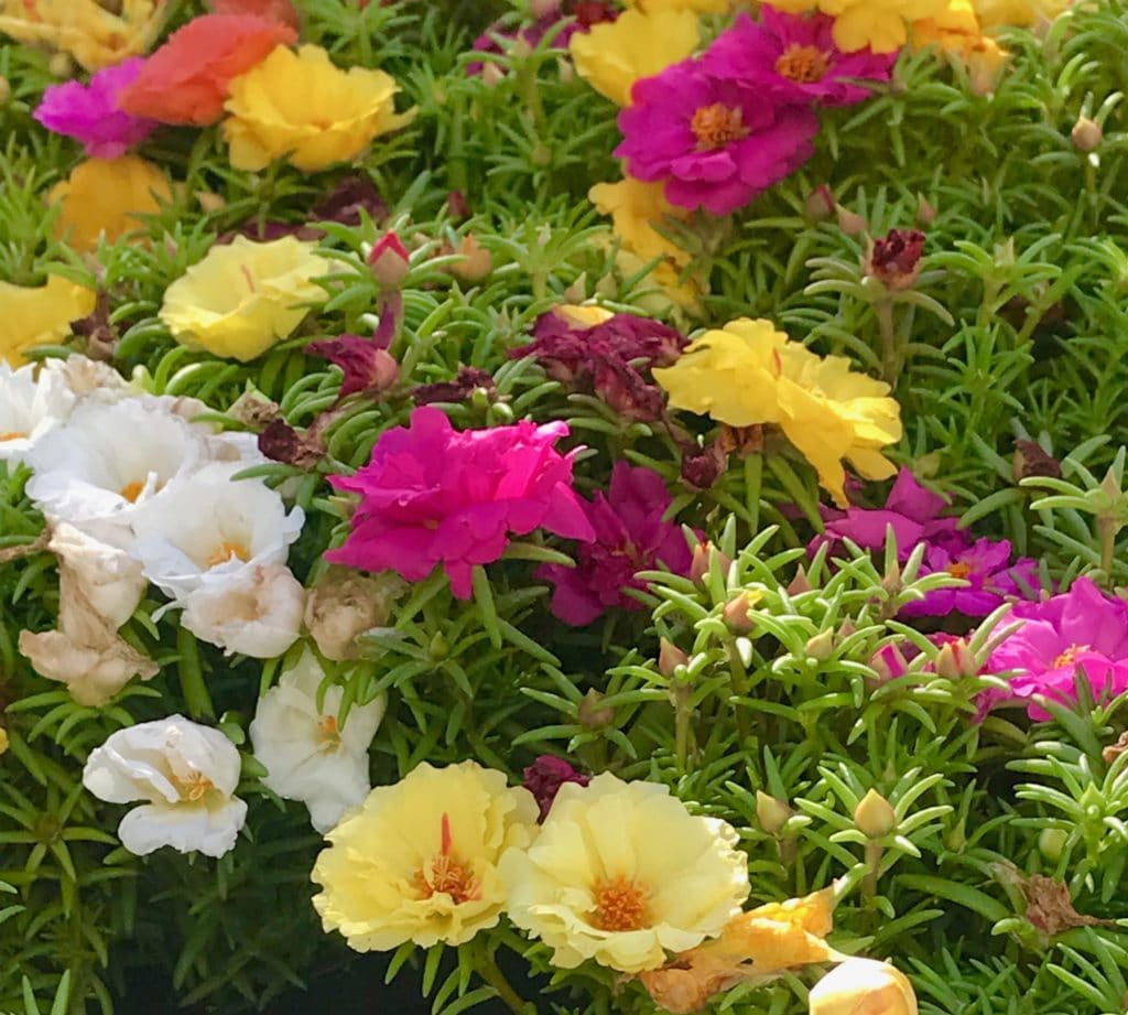 Moss Rose is one of the pretties Summer annuals!