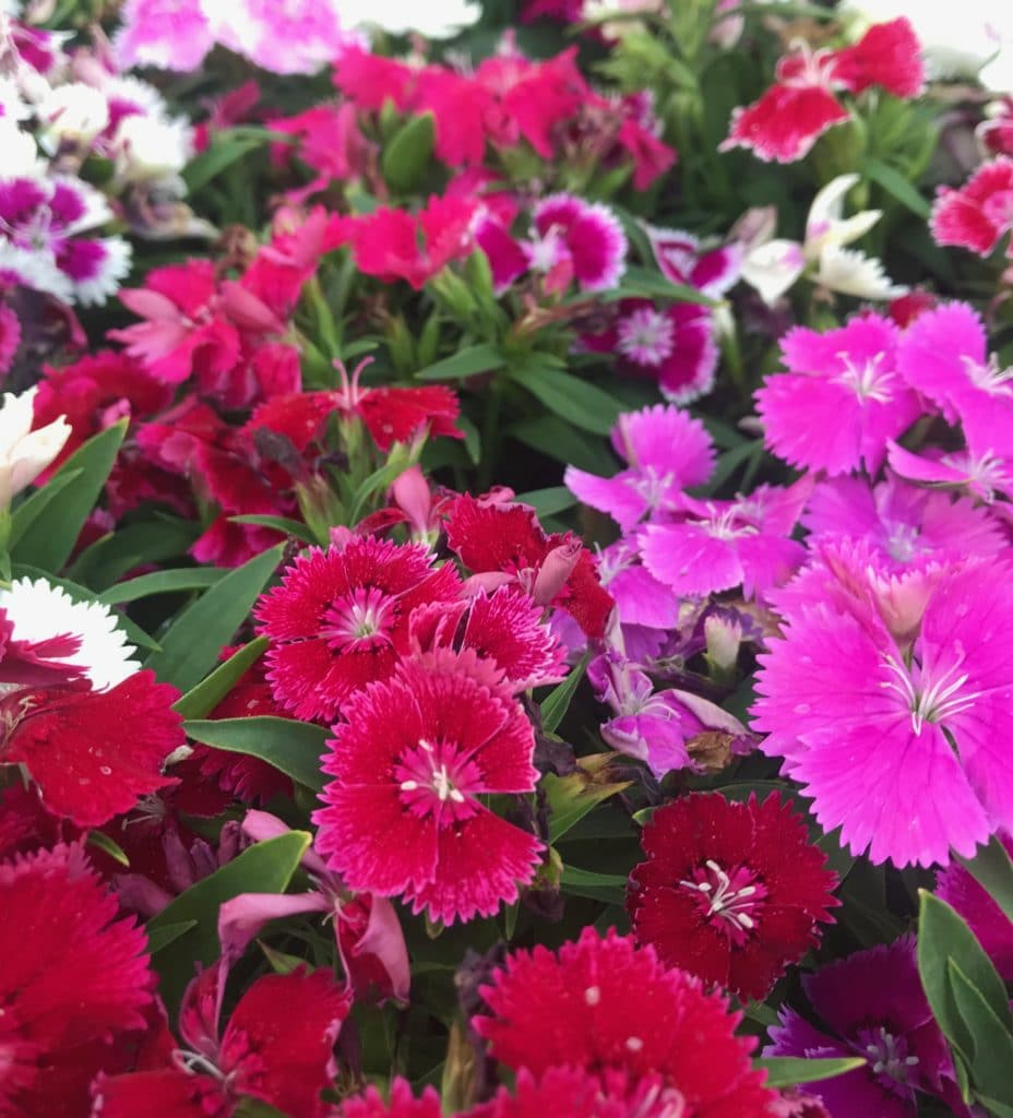 Dianthus makes the prettiest addition to your garden of full sun perennials!