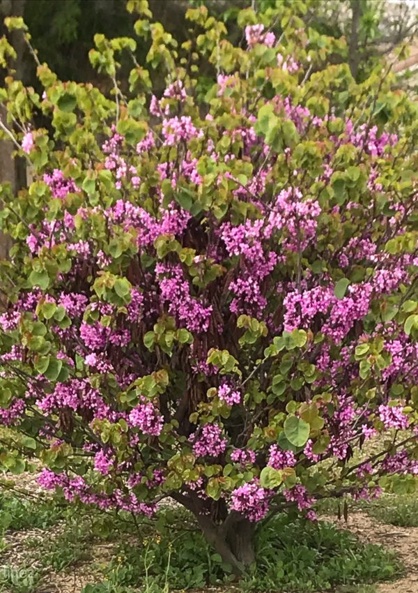 Learn to Prune Lilacs the Right Way for Optimum Blooms Next Spring