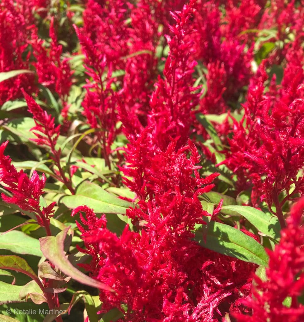 This celosia is an annual plant that blooms throughout the Summer to provide yards with texture and color.