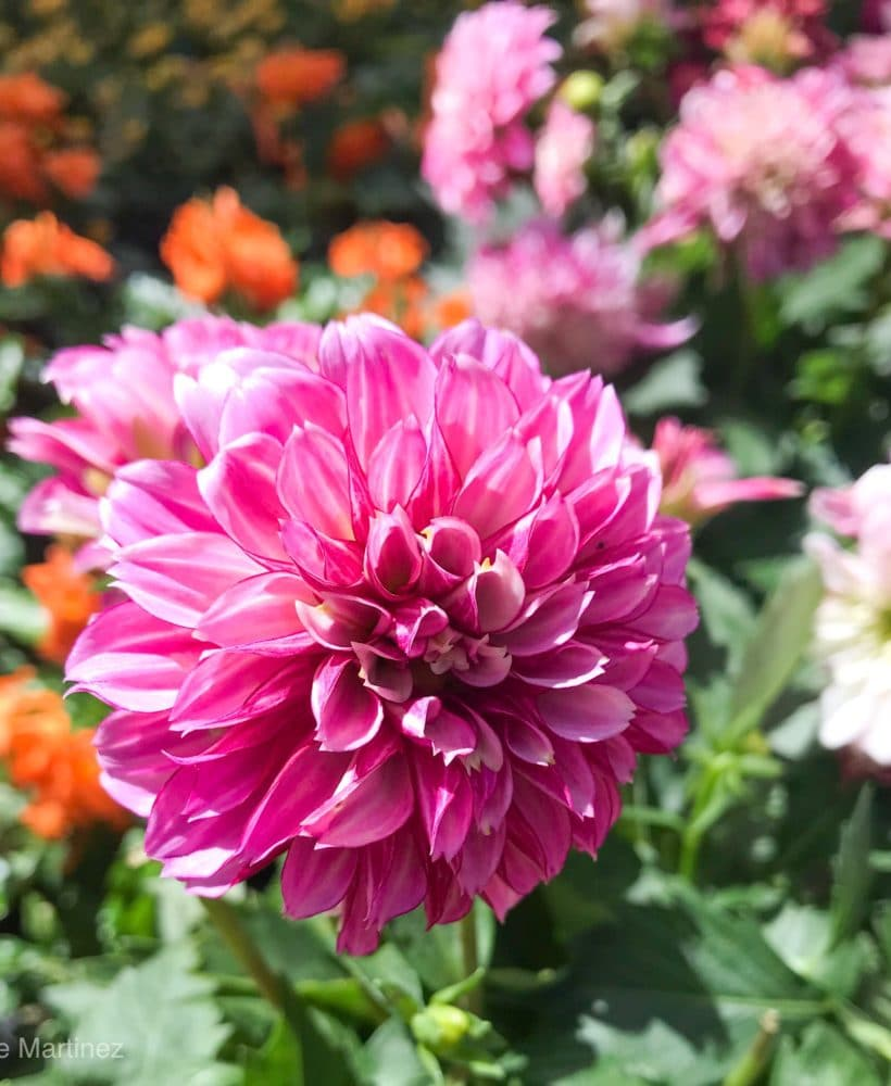 Dahlias are annuals that can bloom all Summer and into Fall.
