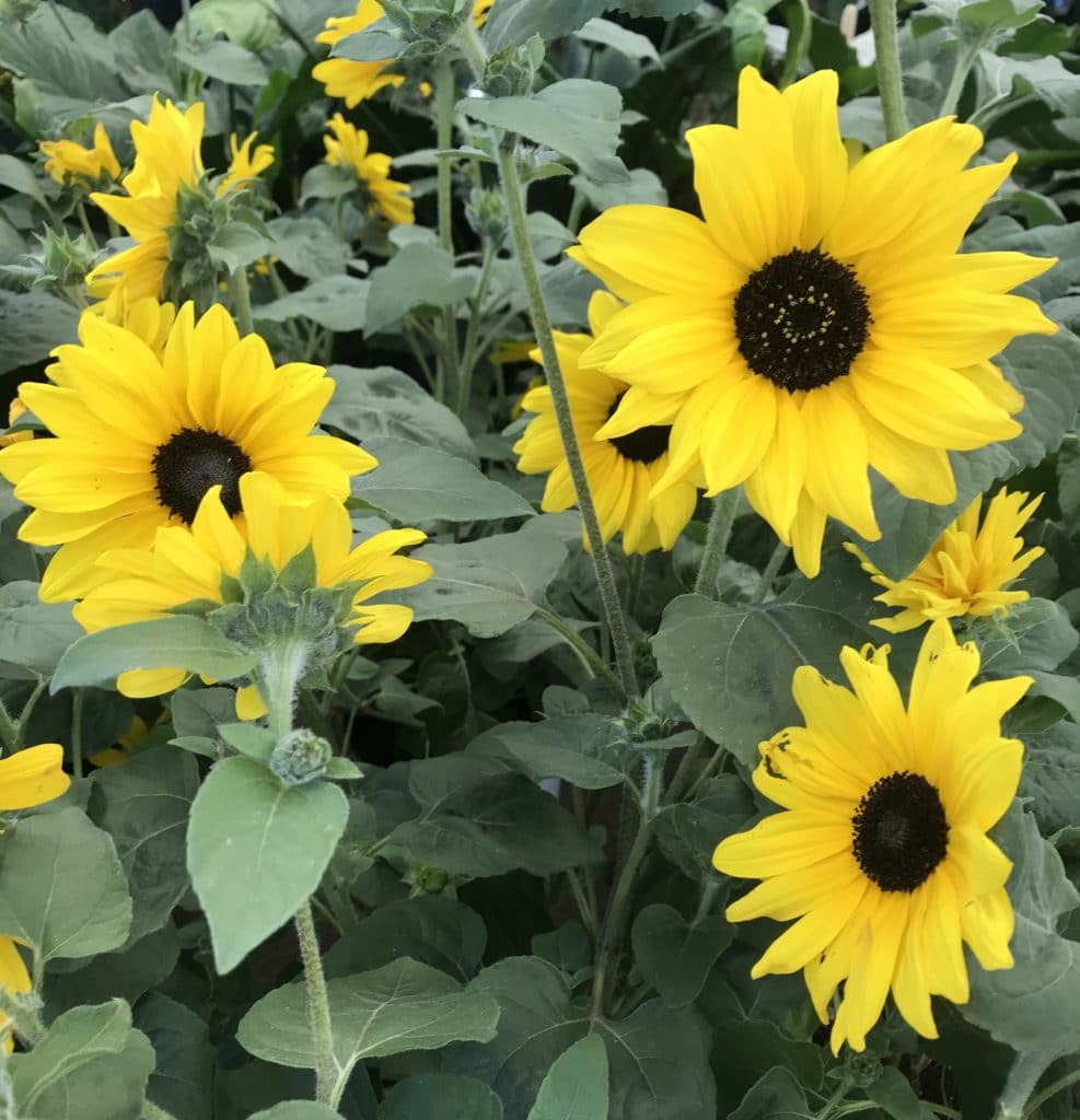 Sunflowers make beautiful Summer annuals!
