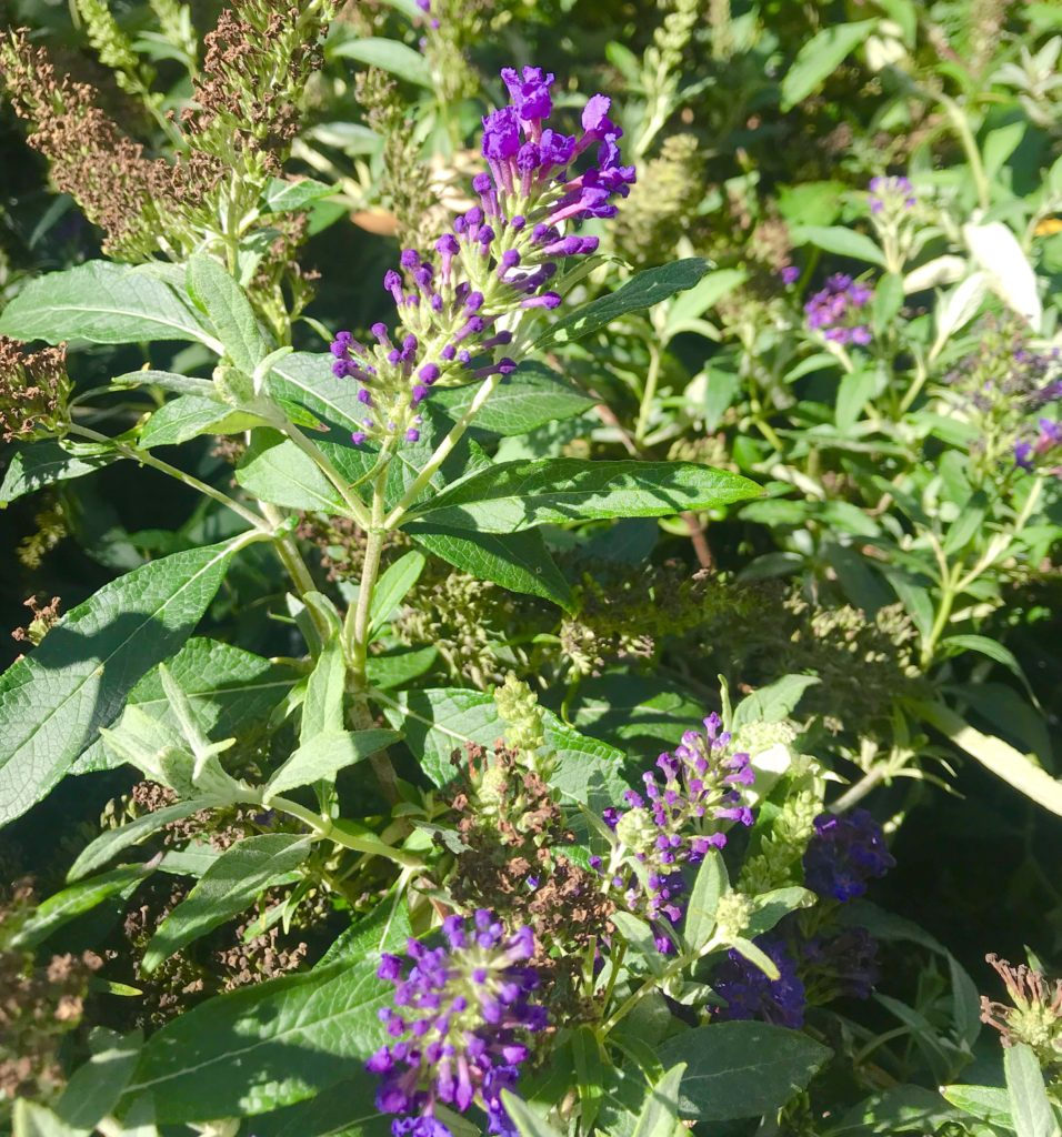 Midnight Salvia is a gorgeous low-maintenance perennial.