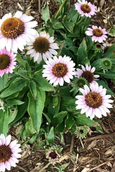 Low-maintenance Perennials