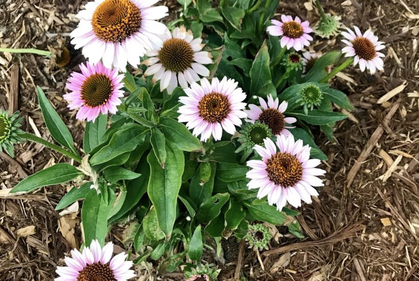 Low-maintenance Perennials