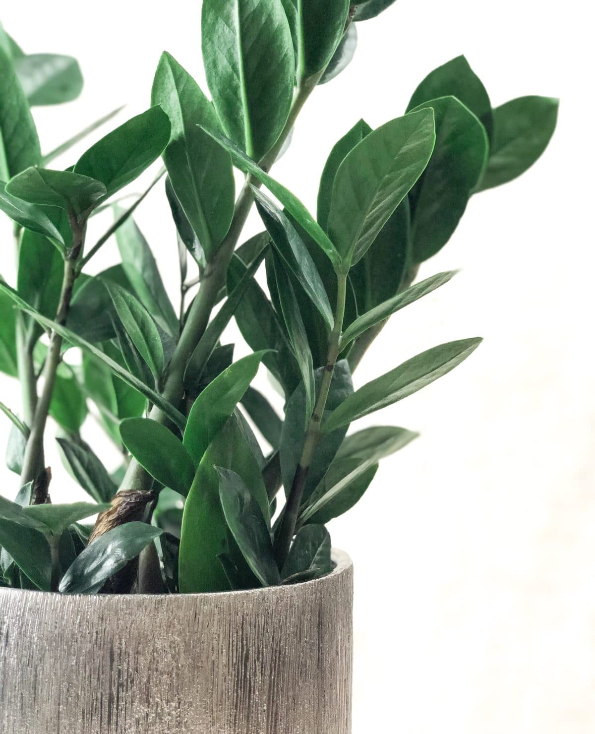 Learn how to care for an indoor ZZ plant.