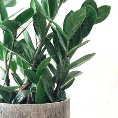 How to Care for a ZZ Plant