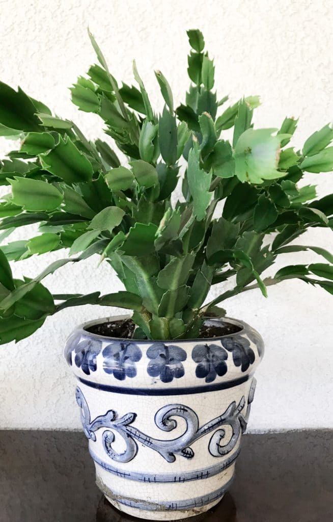 Learn how to care for Christmas Cactus and Thanksgiving Cactus with this growing guide!