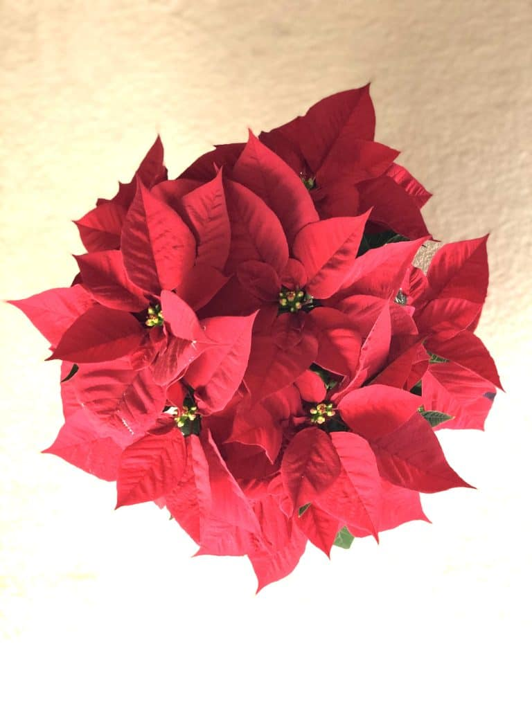 Learn how to care for poinsettias with this helpful guide!