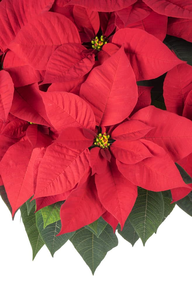 Learn how to care for Poinsettias!