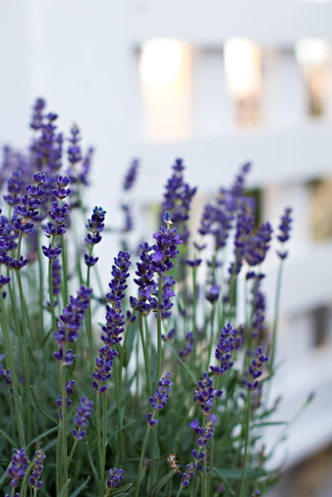 Learn how to grow lavender!