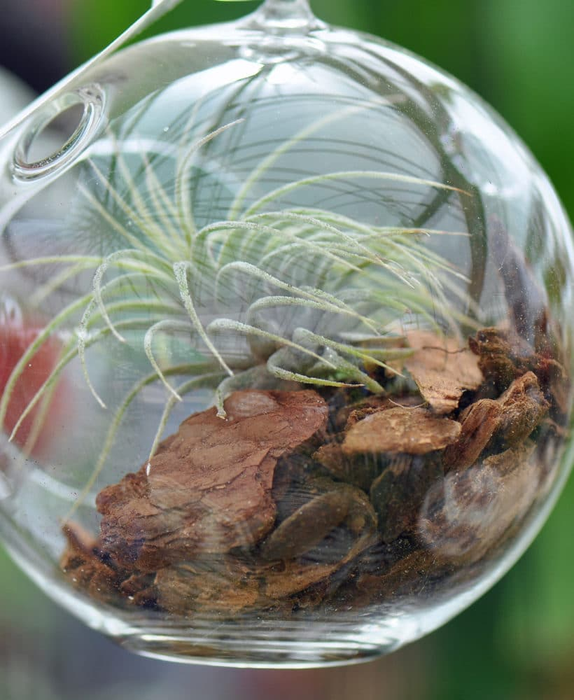 Learn how to care for air plants!