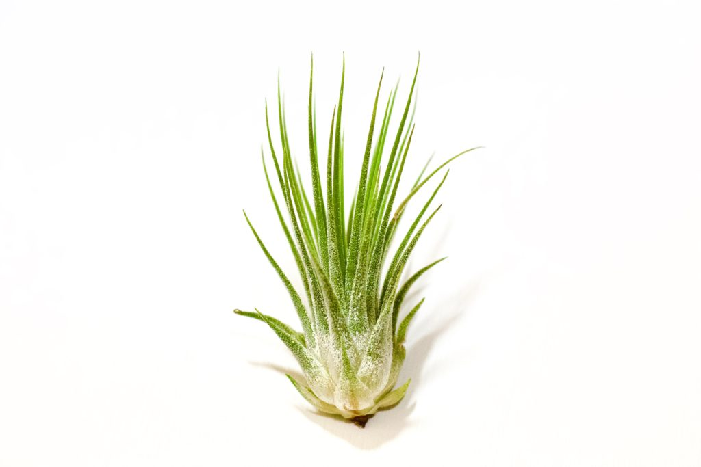 How to care for air plants with this simple guide!