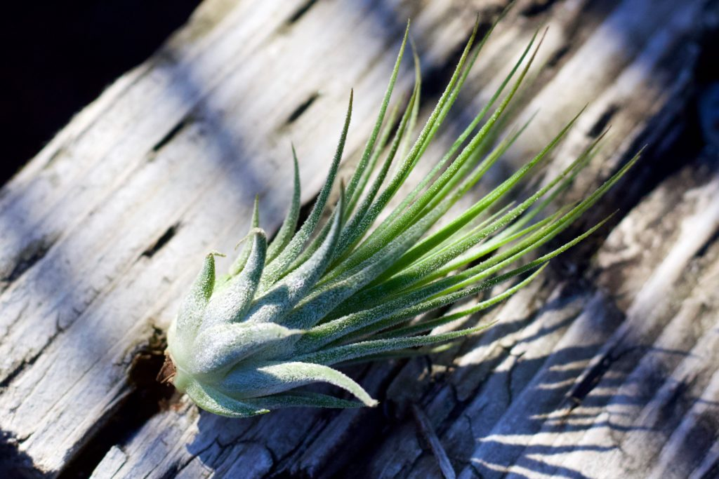 How to care for an air plant