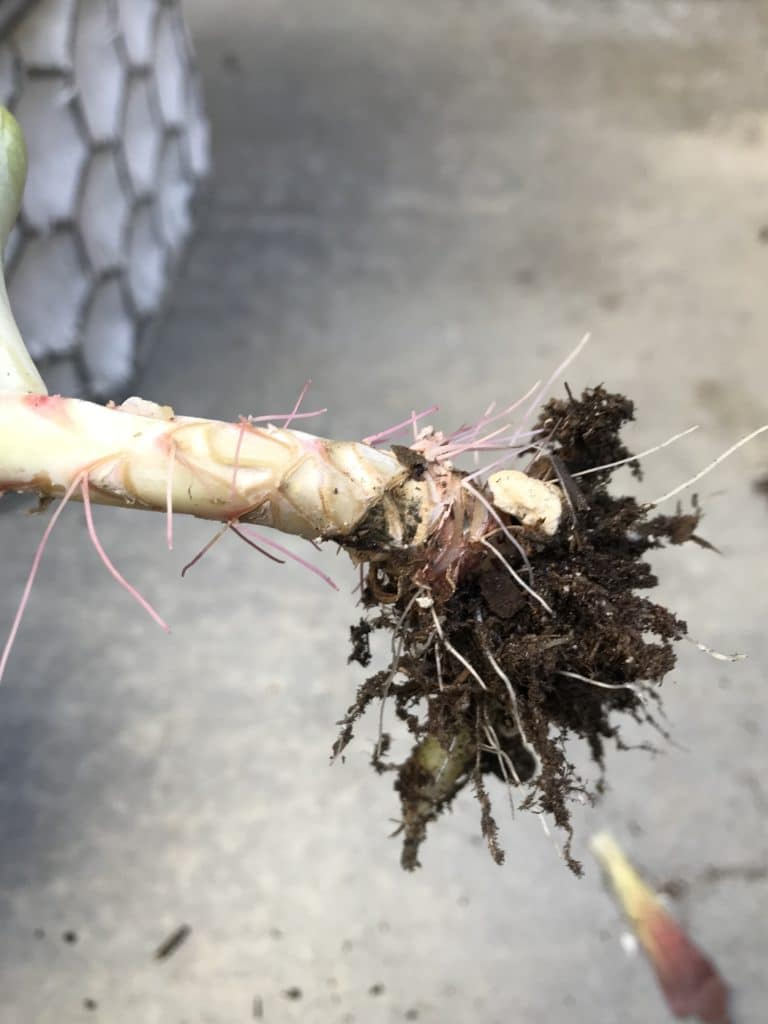 Aeriel roots on succulent