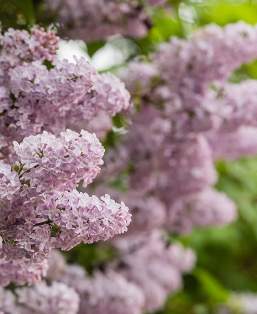 Get some helpful lilac bushes care tips with this simple care guide!