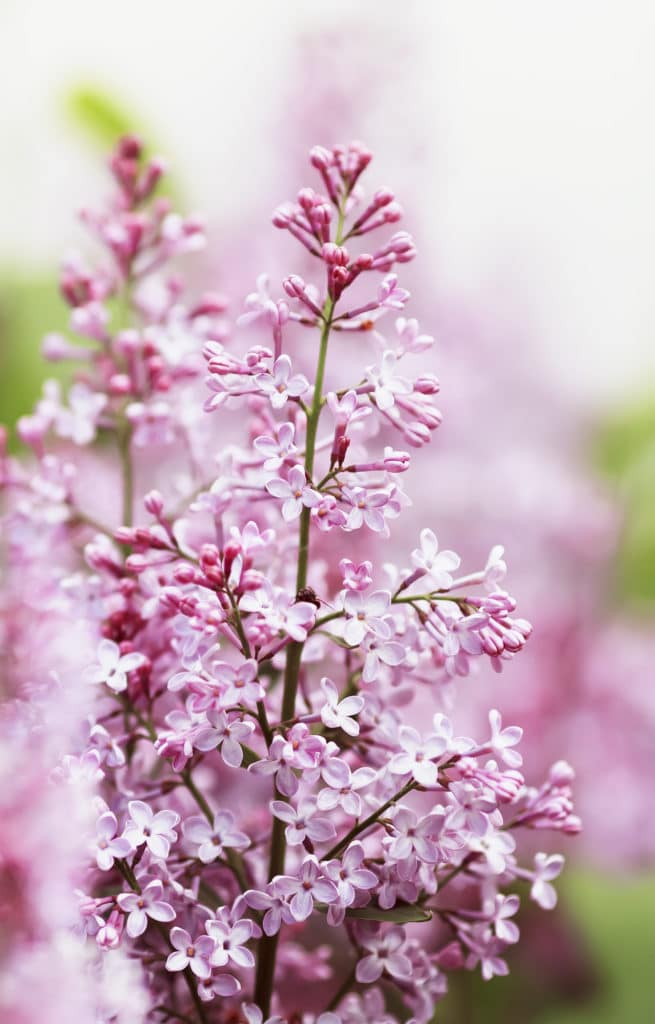 Learn how to care for lilacs with these lilac bush care tips!