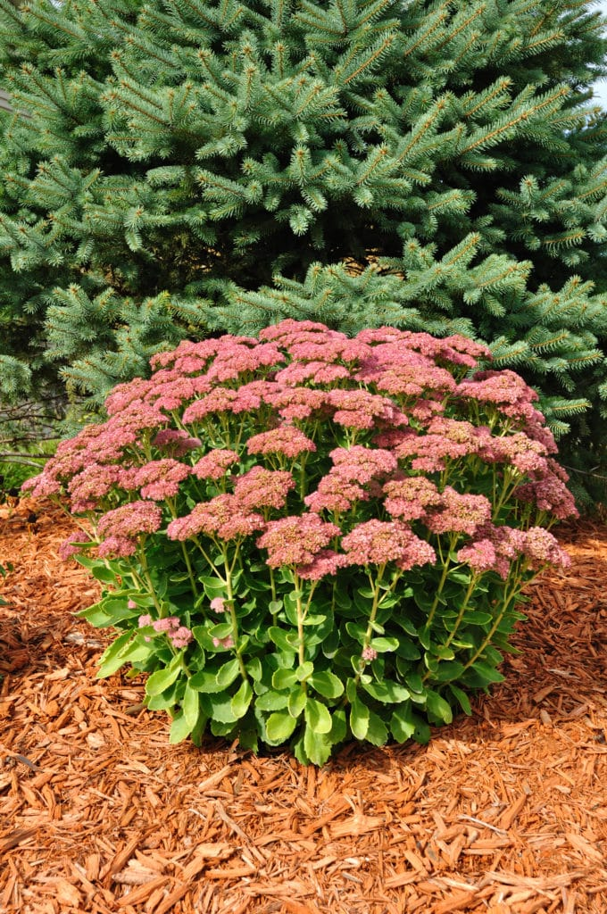 Autumn Sedume makes a low-maintenance Fall perennial for the garden!