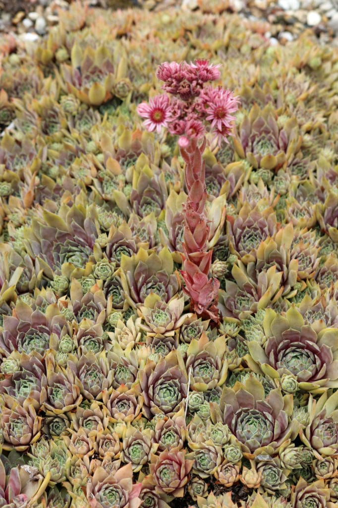 Learn how to care for hens and chicks succulents!