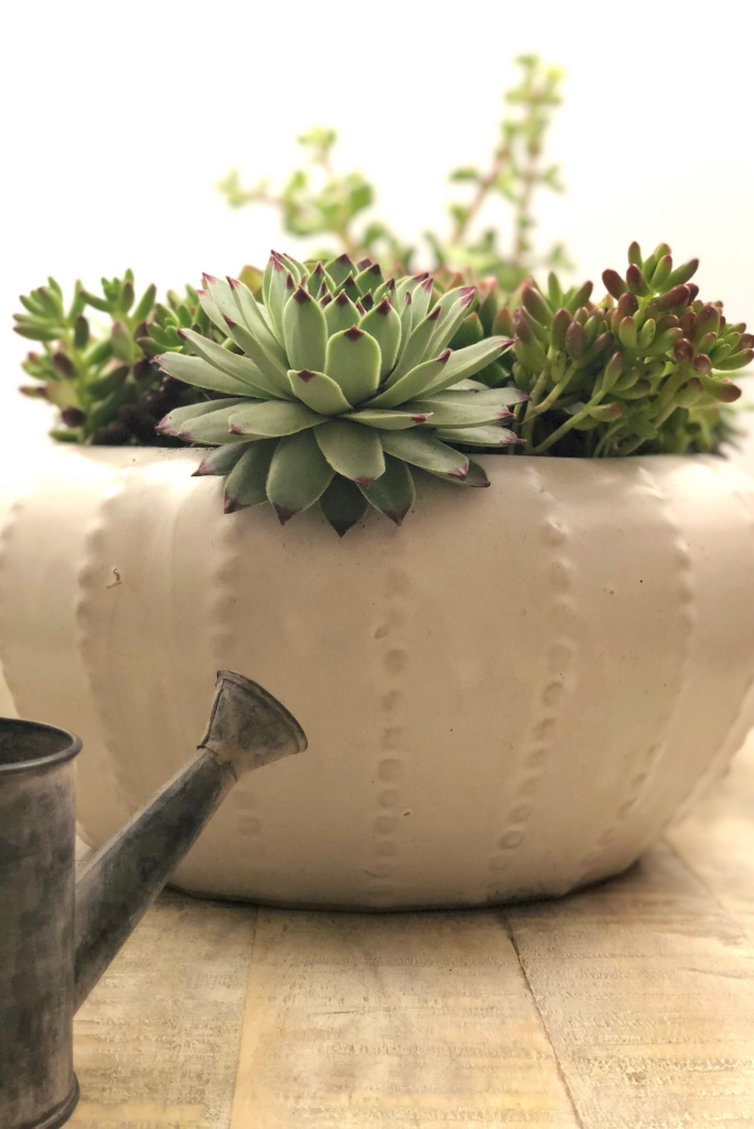 How To Water Succulents The Right Way Natalie Linda