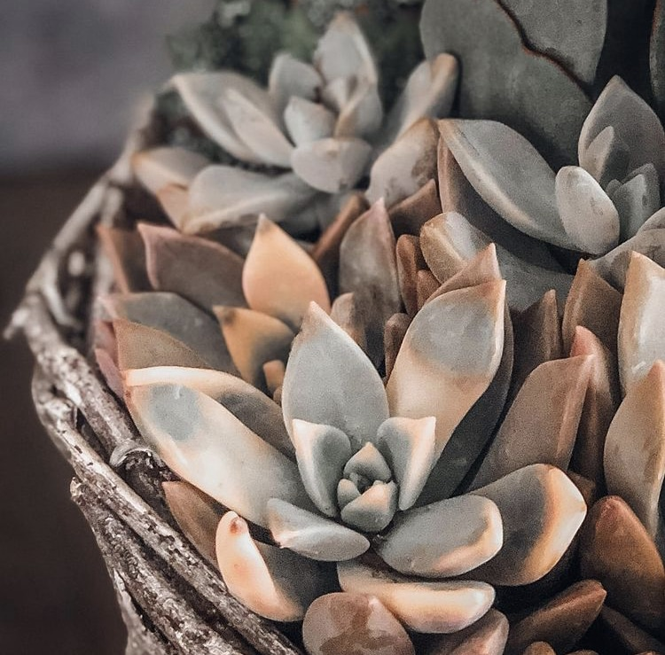 Learn why succulents change or lose color!