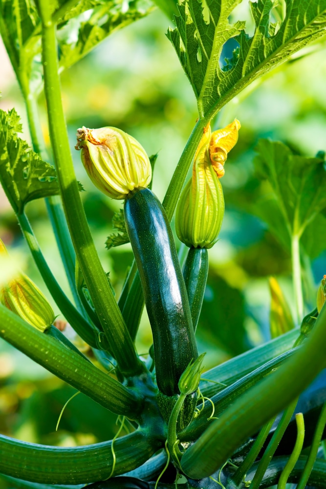 Zucchini in Containers