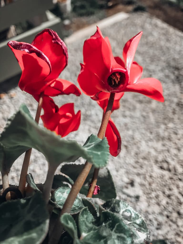 Learn  all about cyclamen care!