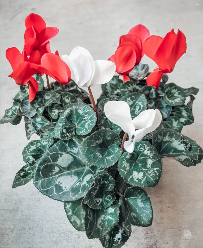Learn all about cyclamen care with this post!