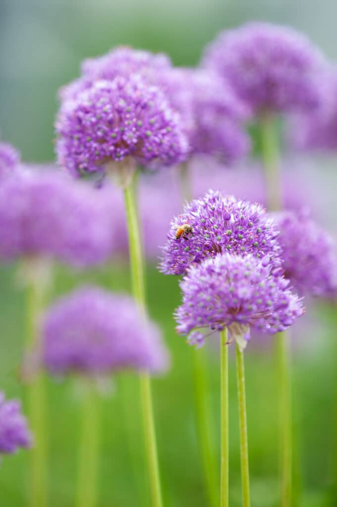 Learn how to grow alliums with this growing guide!
