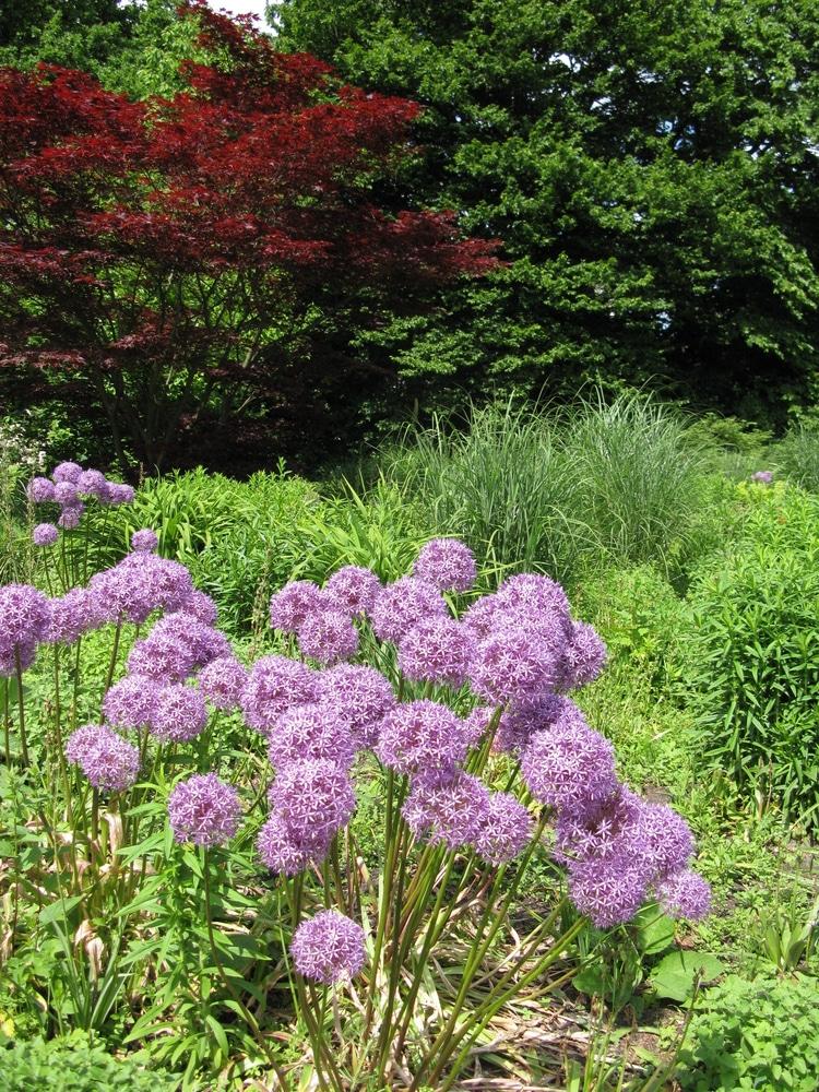 Learn how to grow alliums!