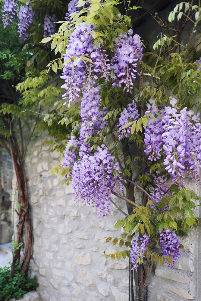 Learn how to care for wisteria vine with this simple guide!