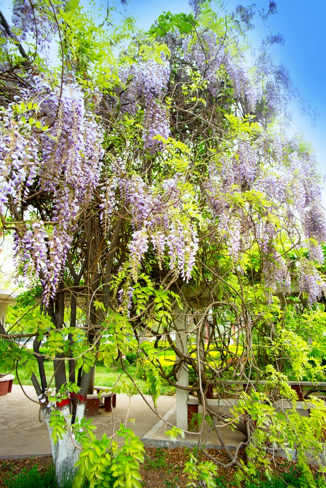 Learn how to care for your wisteria vine with these simple tips!
